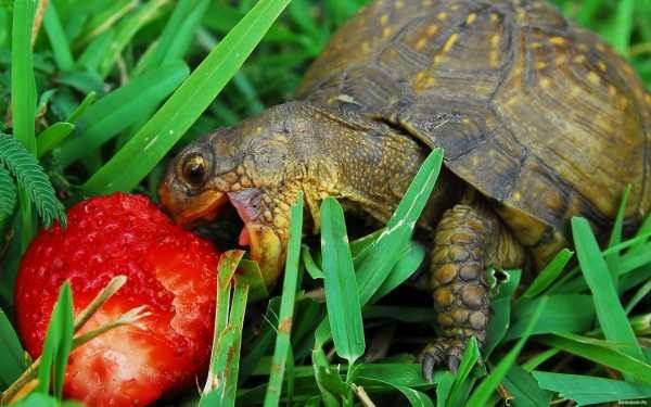 Cosa mangiano le tartarughe terrestri for Tartarughe di terra letargo