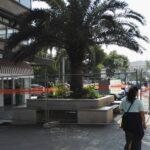 La palma in via Sparano prima dell'espianto