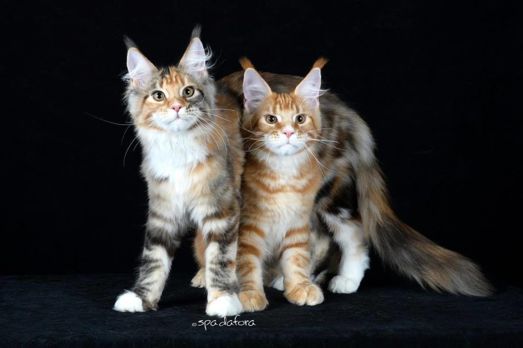 Il Maine Coon