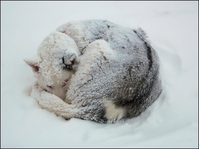 husky dorme