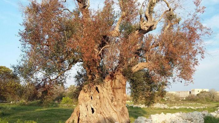 Mappa Xylella Puglia.Puglia Strage Di Ulivi Sono 21 Milioni Le Piante Infette Panorama Spettrale